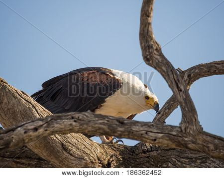 Portrait of giant African Fish Eagle sitting in dead tree, Chobe NP, Botswana, Africa.