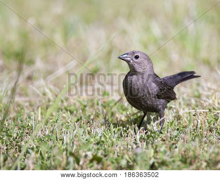 Brown-headed cowbird on grass background in refuge