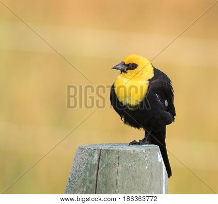 Yellow-headed Blackbird Perched On A Fence Post With Brown Background In Jackson, Wy