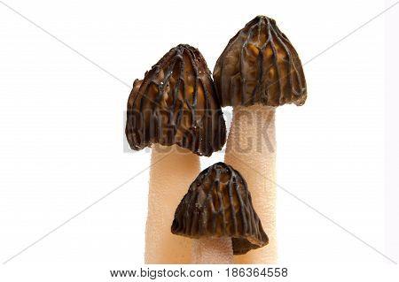 Wild spring Morel mushroom (Morchella esculenta). Delicacy fungus.