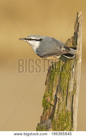 Eurasian Nuthatch Sitta europaea on algae covered stick with brown or tan background