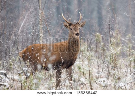Beautiful artwork of lonely young deer standing in a belorussian forest under first snow  falling. Quietly standing  lone young deer with antlers in the thicket of the forest. European  wildlife landscape with snow and lonely young deer.