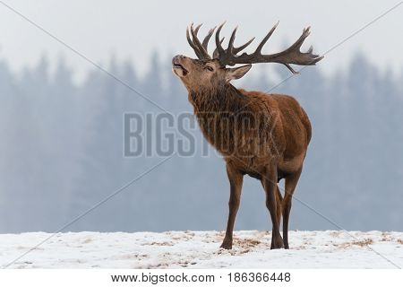 Single roaring adult deer with big beautiful horns on snowy field on forest background.Lonely big red adult deer with beautiful horns on a snow-covered field. European  wildlife landscape with snow and quietly standing roaring antlered deer with big horns