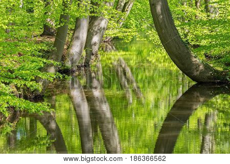 Beech trees with stream in spring forest