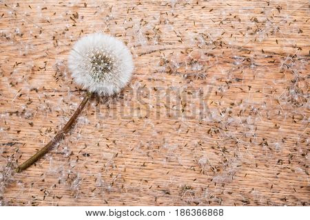 Mature white dandelion on a table covered with dandelion seeds