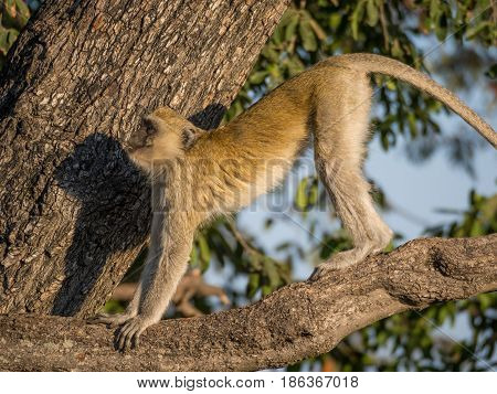 Vervet Monkey stretching its body in a tree on a sunny day, Chobe NP, Botswana, Africa.