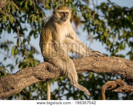 Vervet Monkey sitting relaxed in a tree on a sunny day, Chobe NP, Botswana, Africa.