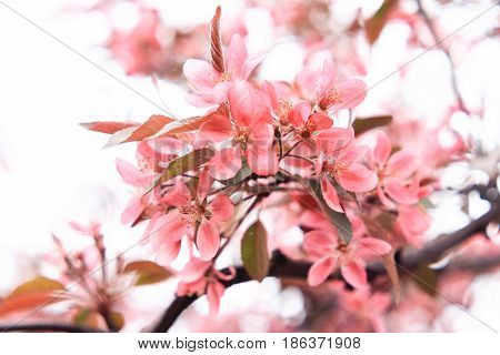 Exquisite gently pink sakura flowers on a white background