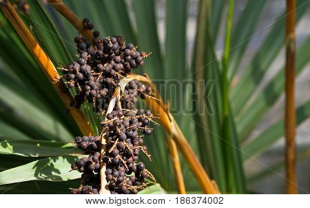 livistona chinensis in the botanical garden, a large bunch of small round black seeds, fruits,  large green long foliage on the background,