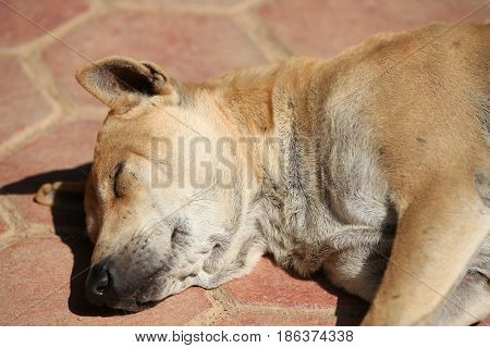 Street dog resting in the sun Thailand Southeast Asia