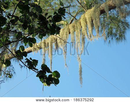 Close up of Spanish moss growing on tree