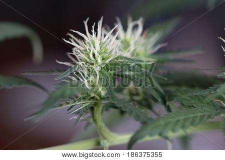 Female flower marijuana cannabis plant early stage