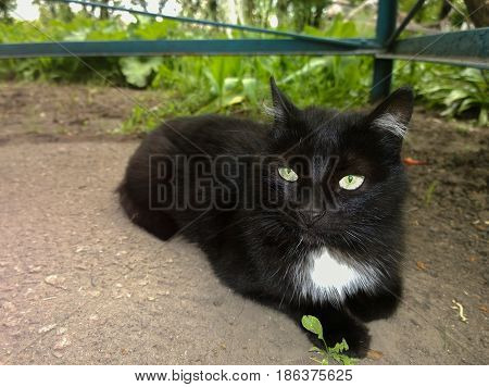 Green-eyed black cat with a white spot in front lies