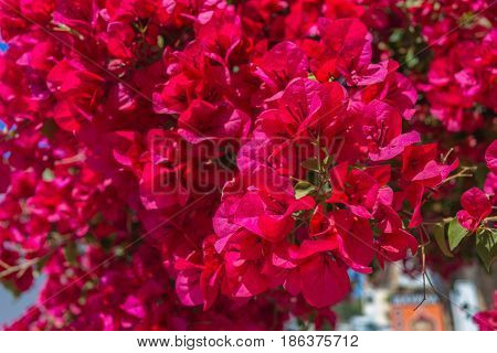 Delonix Regia Flowers. Tropical Flame Tree