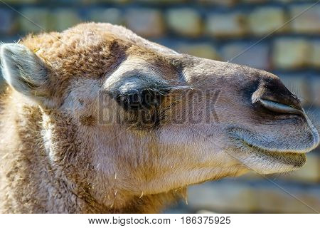 Closeup of camel face and eyes in Iran