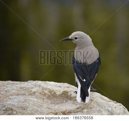 Clark's Nutcracker bird perched on a rock with greenery in background