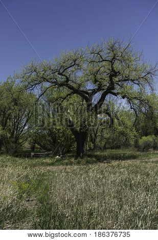 Cottonwood tree in field under blue sky surrounded by grassland