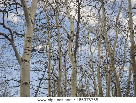 Aspen trees with blue cloudy sky in background