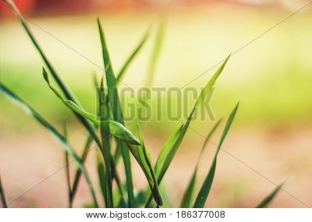 Background of freshly grown grass, shallow depht of field.