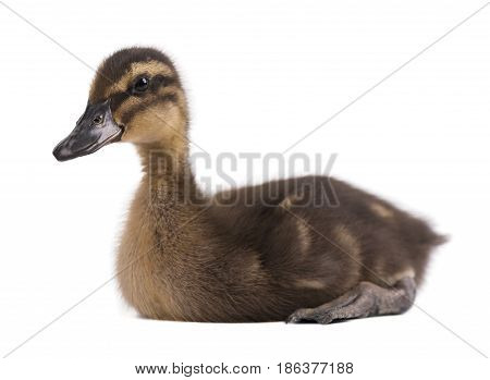 Duckling isolated on white background. Baby mallard close-up.
