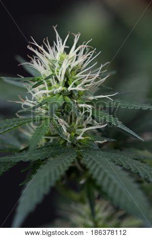 Female marijuana cannabis plant in early flowering cycle