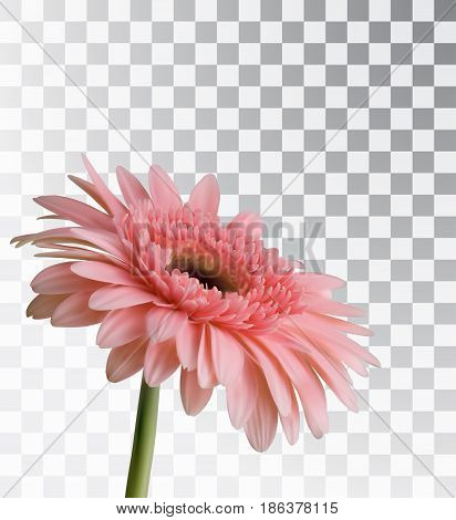 Gerbera isolated on a transparent background. Realistic spring flower. Vector object.