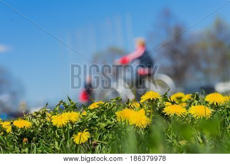 Blurred unrecognizable children walking in park, ride bikes. Spring season, green grass meadow and bright yellow young dandelions, copy space. Abstract background, people activities, lifestyle