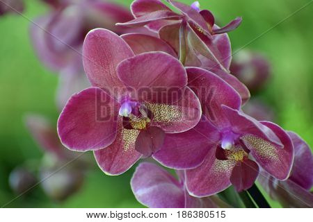 Close view on the beautiful purple  flower from the Orchidaceae familly on the green background