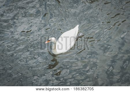 single swan in water from above - white swan