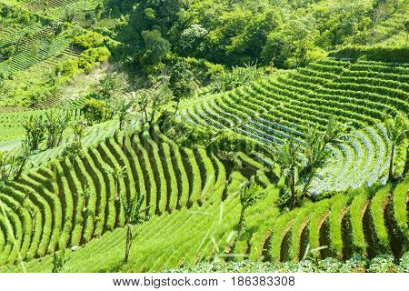Image of terraced green rice field on the hill with banana trees
