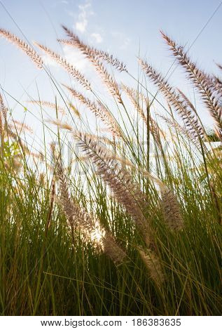 Close up of backlit grass with green blades and reddish brown feathery seed heads waving in the breeze. Light blue sky and thin clouds are behind.