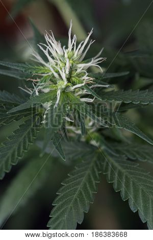 Marijuana Cannabis Flower Close up macro early stage.