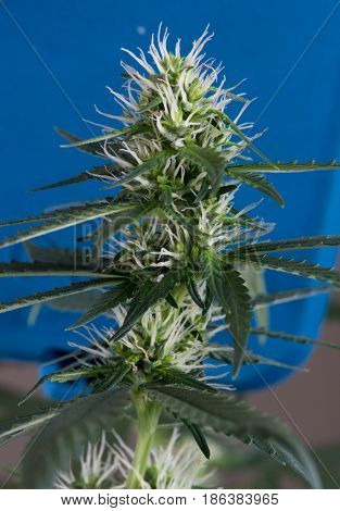 Close up macro of flowering cannabis plant