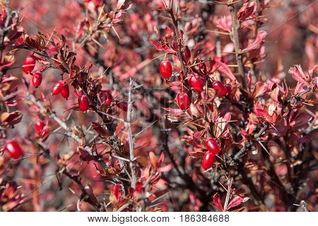 Closeup Of A Ripe Red Himalayan Barberry Berries On A Shrub. Barberry Shrub Lit Up By A Bright Sun L