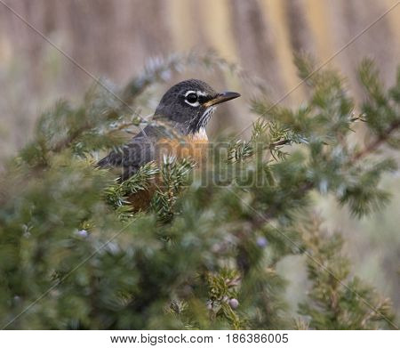 American Robin Hiding In Juniper Bush With Blue Berries On Stems