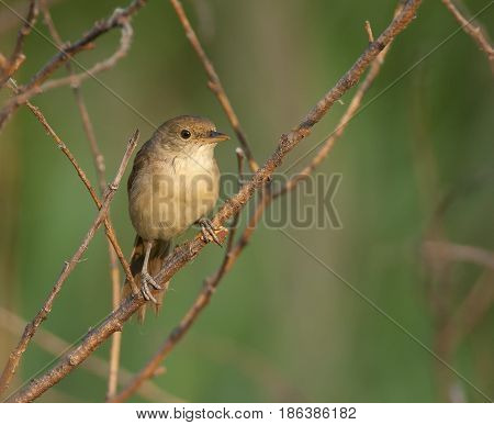 Thick-billed Reed Warbler On Shrub Limb At Edge Of Wetland In Far East Russia