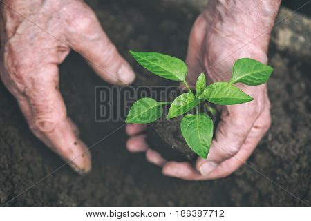 Old Man hands are planting the seedling into the soil. Toned image. Focus on seedling.