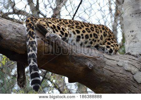 Amur leopard resting on a tree branch