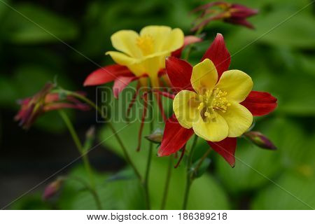 Flowers Of Yellow And Red Aquilegia In The Spring Garden.
