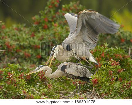 Great Blue Heron, Ardea Herodias
