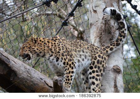 An Amur leopard on a tree branch