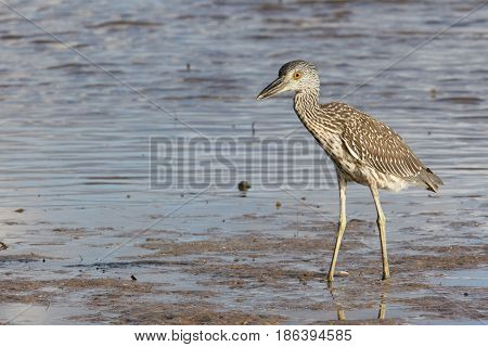 Juvenile Yellow-crowned Night Heron Nyctanassa violacea fishing in blue water on beach
