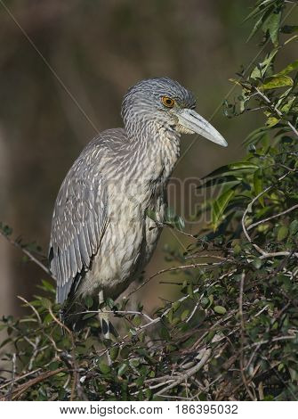Juvenile Yellow-crowned Night Heron Nyctanassa violacea on mangrove sticks over wetlands