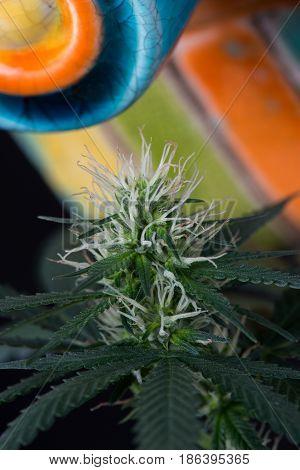 Young cannabis marijuana flower macro close up