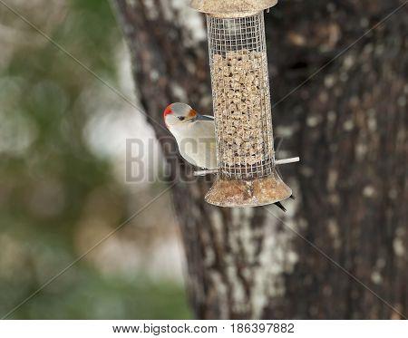 Red-bellied Woodpecker Feeding In Wire Feeder In Backyard With Tree In Background