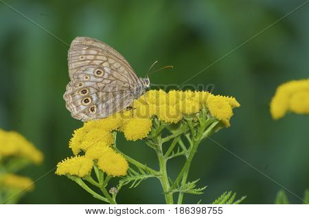 Three Spotted Brown Butterfly