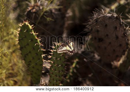 Anise swallowtail butterfly Papilio zelicaon on a prickly pear cactus Opuntia ficus indica along a wilderness hiking trail in Laguna Beach California.