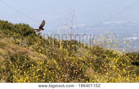Swainsons hawk Buteo swainsoni flies over the wilderness canyon and hunts for food in Laguna beach California