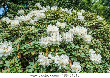 A closeup shot of white Rhododendron blossoms that seem to go on forever.