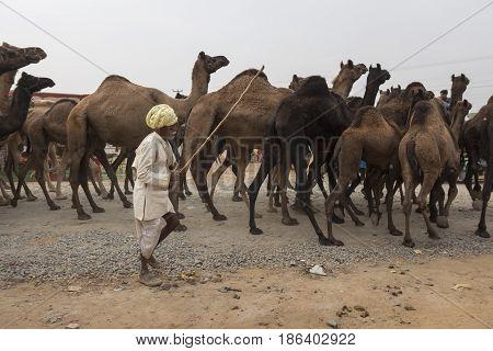 PUSHKAR INDIA-OCT 31 : unidentified native man in camel caravan in Pushkar on october31 2014 india
